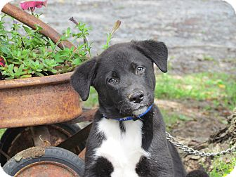 St. Bernard/Labrador Retriever Mix Puppy for adoption in Bedminster, New Jersey - RUGBY