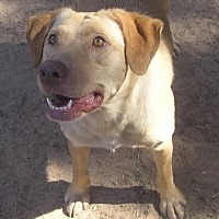 Labrador Retriever Mix Dog for adoption in Cross Roads, Texas - Liberty