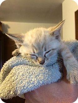 Domestic Shorthair Kitten for adoption in Hainesville, Illinois - Potter