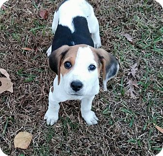 Treeing Walker Coonhound Mix Puppy for adoption in Hayes, Virginia - Jack