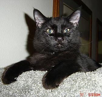Domestic Shorthair Cat for adoption in Los Angeles, California - BLACK JACK PERSHING