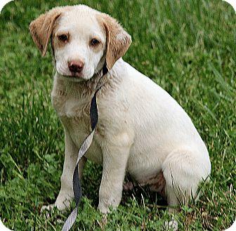 Golden Retriever/Beagle Mix Puppy for adoption in Washington, D.C. - Zack
