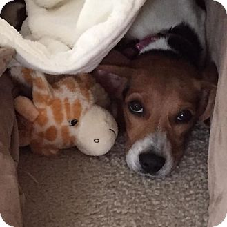 Beagle Mix Puppy for adoption in waterbury, Connecticut - Baylee aka Maddie