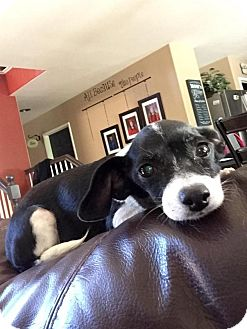 Beagle/Terrier (Unknown Type, Small) Mix Dog for adoption in Rancho Cucamonga, California - Emma