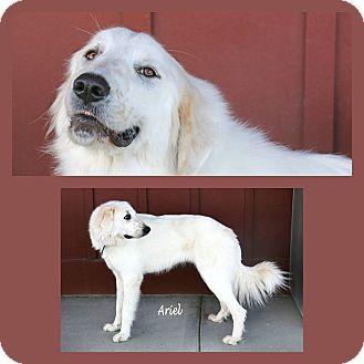 Great Pyrenees Mix Dog for adoption in Idaho Falls, Idaho - Ariel