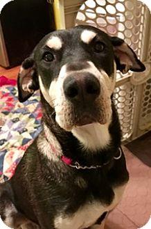 Shepherd (Unknown Type)/Hound (Unknown Type) Mix Dog for adoption in ST LOUIS, Missouri - MAGGIE