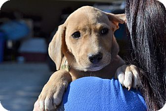 Labrador Retriever Mix Puppy for adoption in Acworth, Georgia - Sun - Bear Litter