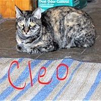 Domestic Shorthair Cat for adoption in Jesup, Georgia - Cleo