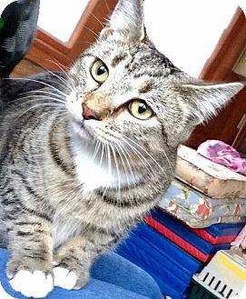 Domestic Shorthair Kitten for adoption in Franklin, Indiana - Kricket