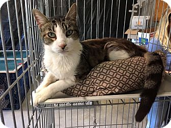 Domestic Shorthair Cat for adoption in Marion, Illinois - Peter