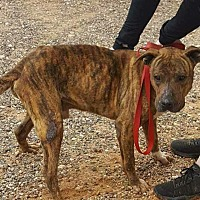 Adopt A Pet :: Handsome - Colorado City, TX