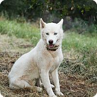 Adopt A Pet :: Bolt - Auburn, CA
