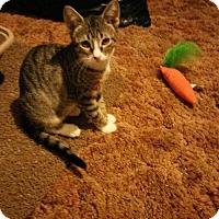 Adopt A Pet :: Lacey - ROSENBERG, TX