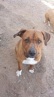 Mastiff/Boxer Mix Dog for adoption in Tucson, Arizona - Zeus