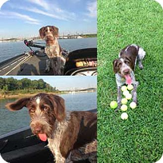 German Wirehaired Pointer Dog for adoption in Denton, Texas - Noah