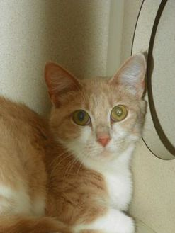Domestic Shorthair/Domestic Shorthair Mix Cat for adoption in Durango, Colorado - Providence