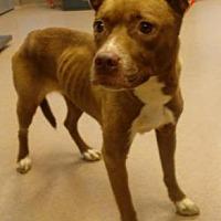 Adopt A Pet :: Scarlett - Decatur, GA