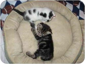 Domestic Shorthair Kitten for adoption in Charlotte, North Carolina - Baby Kittens!