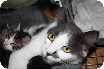 Domestic Shorthair Cat for adoption in Okotoks, Alberta - Veronica