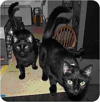 Domestic Shorthair Cat for adoption in Gaithersburg, Maryland - Sherry