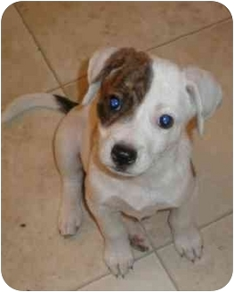 American Bulldog Mix Puppy for adoption in Franklin, Virginia - Rascal