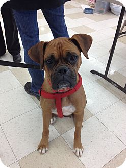 Boxer Mix Dog for adoption in Broomfield, Colorado - Esther Lily