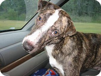 Whippet/Basenji Mix Dog for adoption in Orange Lake, Florida - Duncan