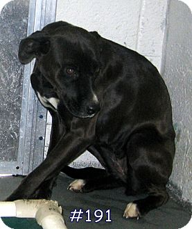 Boxer/Labrador Retriever Mix Dog for adoption in Floyd, Virginia - URGENT - At Pound # 191