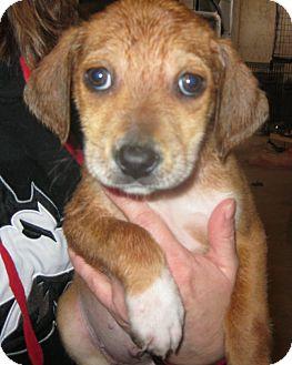 Labrador Retriever Mix Puppy for adoption in Schaumburg, Illinois - Kayden