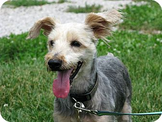 Schnauzer (Standard)/Yorkie, Yorkshire Terrier Mix Dog for adoption in Indianapolis, Indiana - Lou
