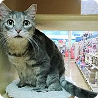 Adopt A Pet :: Kitty Anne - The Colony, TX