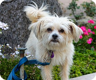 Terrier (Unknown Type, Small)/Brussels Griffon Mix Dog for adoption in Los Angeles, California - Snuggles
