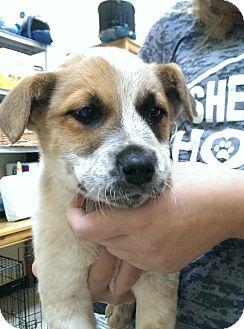 Shepherd (Unknown Type)/Australian Shepherd Mix Puppy for adoption in Thousand Oaks, California - Bruiser