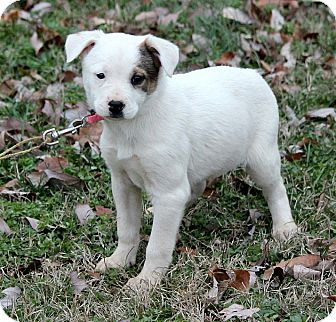 Labrador Retriever/Mountain Cur Mix Puppy for adoption in Foster, Rhode Island - Anna
