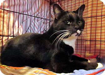 Domestic Shorthair Cat for adoption in Colville, Washington - Moose