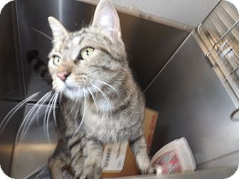 American Shorthair Cat for adoption in Thomaston, Georgia - Clawdette