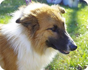 Collie Dog for adoption in Cottageville, West Virginia - Jessa