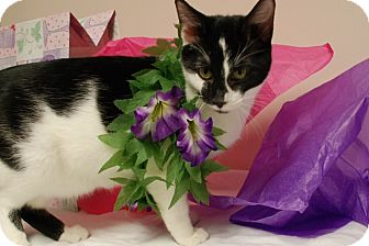 American Shorthair Cat for adoption in Salem, West Virginia - Tiny
