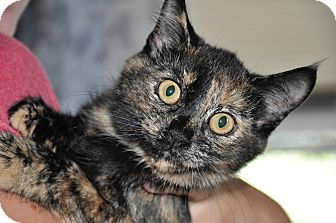 Domestic Shorthair Kitten for adoption in Danbury, Connecticut - Maggie