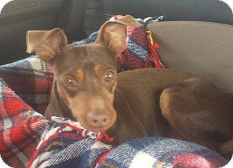 Miniature Pinscher Mix Dog for adoption in Aqua Dulce, California - Boomer