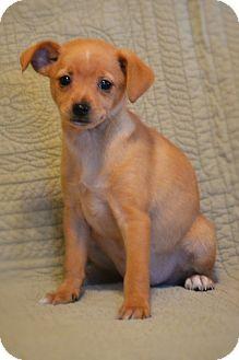 Miniature Pinscher Mix Puppy for adoption in Hagerstown, Maryland - Twinkie