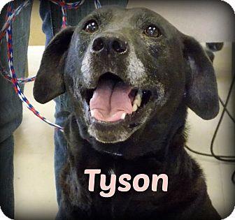 Labrador Retriever Mix Dog for adoption in Defiance, Ohio - Tyson