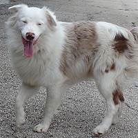 Australian Shepherd/Border Collie Mix Dog for adoption in Seguin, Texas - Blue