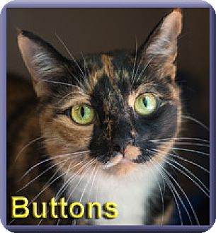 Domestic Shorthair Cat for adoption in Aldie, Virginia - Buttons