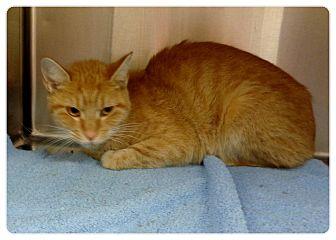Domestic Shorthair Cat for adoption in Marietta, Georgia - SARA