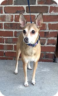 Miniature Pinscher/Chihuahua Mix Dog for adoption in Mount Pleasant, South Carolina - Pepper
