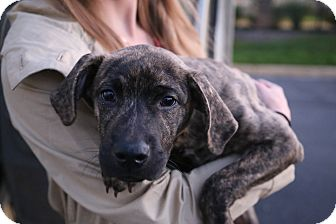 Plott Hound/Boxer Mix Puppy for adoption in Manassas, Virginia - Emery