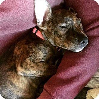 Hound (Unknown Type)/Shepherd (Unknown Type) Mix Puppy for adoption in Broken Arrow, Oklahoma - Harper
