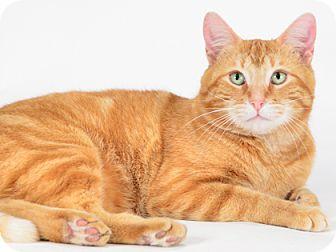 Domestic Shorthair Cat for adoption in Kingston, Ontario - Henry