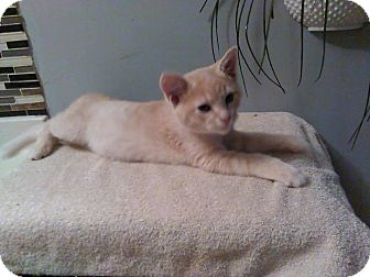 Domestic Shorthair Kitten for adoption in Tiptonville, Tennessee - shenanigans